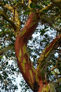 FIBRE & TEXTILE ART DIGITAL ART & SURFACE DESIGNER Pacific Madrona -Arbutus menziesii